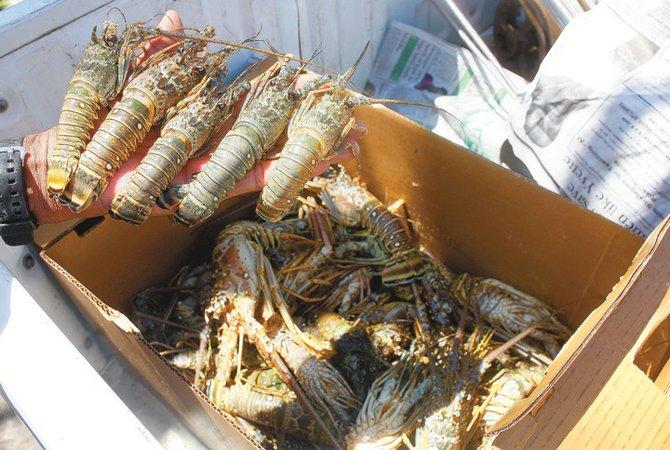 Undersized lobster