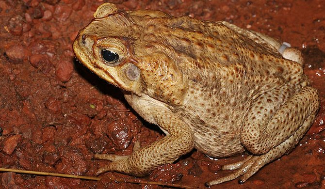 A female cane toad