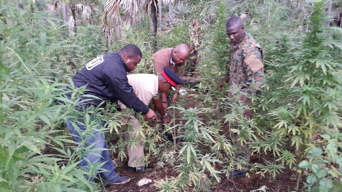 Police discover thousands of marijuana plants