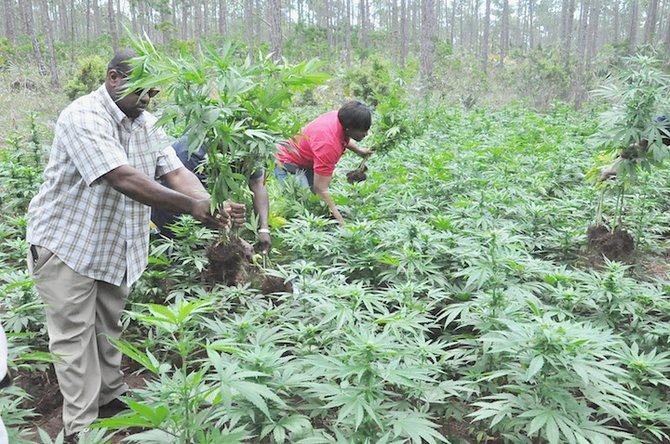Officers pulling out marijuana plants in the field in East Grand Bahama.