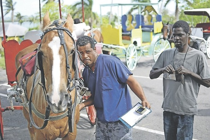 Veterinarian Winston Davis pictured during the surrey horses inspection along with The Bahamas Humane Society, The Port Department and Road Traffic Department. 