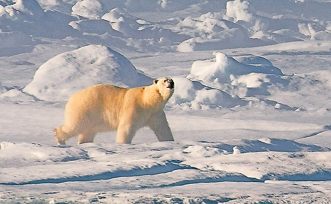From the poles, such as in this picture where a polar bear walks along the ice flow in Baffin Bay above the Arctic circle, to the shores of The Bahamas, climate change is predicted to have a huge effect on the world we live in.