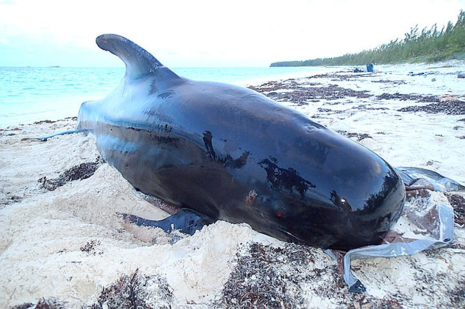 The body of a pilot whale that had been cut open in Abaco. After efforts to save the animal were unsuccessful, the young adult female pilot whale was laid to rest on the beach.