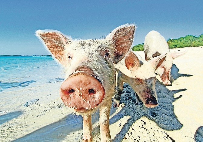 THE swimming pigs of Exuma are a big hit with tourists.