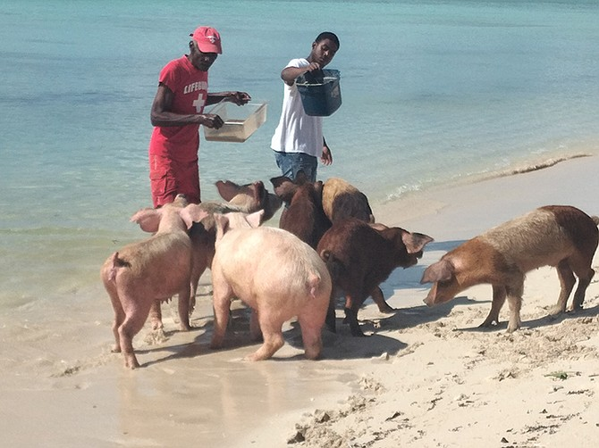 THE pigs being fed in West Grand Bahama.